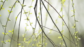 Willow Branches Swinging in the Wind on a Bright Day at The Beginning of the Spring,. Selective focus close up with shallow depth of field for cinematic look of stock video