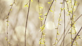 Willow Branches Swinging in the Wind on a Bright Day at The Beginning of the Spring,. Selective focus close up with shallow depth of field for cinematic look of stock footage