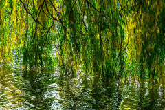Willow Branches under Lake in Autumn season Royalty Free Stock Photography