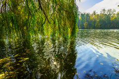 Willow Branches under River in Autumn season Royalty Free Stock Image