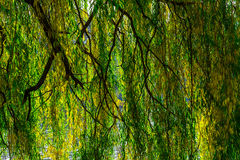 Willow Branches under River in Autumn. Willow Branches with Yellowing Leaves over the River in the Afternoon in Autumn Season stock photos
