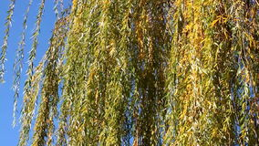 Willow branches in the wind stock footage