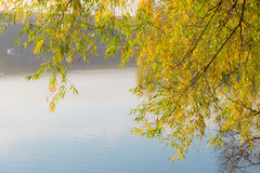 Willow branches with yellowing leaves over the pond Royalty Free Stock Photos