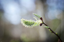 Willow bud Stock Images