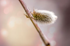Willow Bud Stock Photography