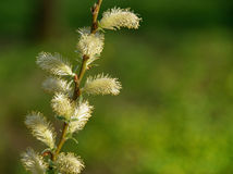 Willow buds Royalty Free Stock Photos