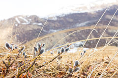 Willow buds in moss mountains in the background Royalty Free Stock Photography