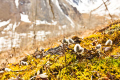 Willow buds in moss mountains in the background Royalty Free Stock Photo