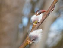 Willow buds - Salix caprea. Just beginning to burst, blurred background Royalty Free Stock Images