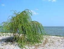 Willow bush Stock Photo