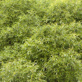Willow bush Stock Photo