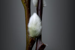 Willow catkin Stock Image
