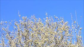 Willow catkin stock video