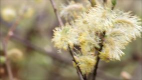 Willow catkin blowing in the wind stock footage