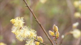 Willow catkin blowing in the wind stock video footage