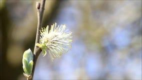 Willow catkin closeup stock footage