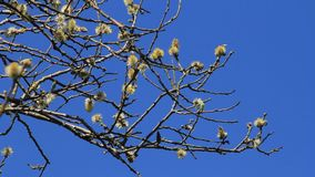 Willow catkin in the nature stock video footage