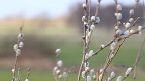 Willow catkin in the nature stock video