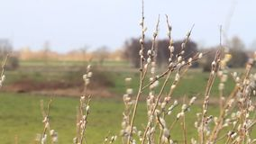 Willow catkin in the nature stock footage