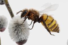 Willow Catkings com abelha Foto de Stock Royalty Free