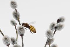 Willow Catkings con l'ape fotografia stock libera da diritti
