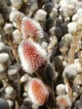 Willow catkins Royalty Free Stock Photos