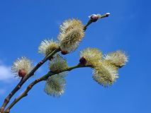 Willow catkins 2 Stock Photography