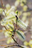 Willow Catkins Stock Photos