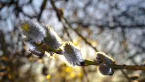 Willow catkins Royalty Free Stock Photo