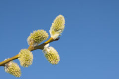 Willow Catkins Against Blue Sky. Male willow catkins in early springtime, blue sky in the backgroung Stock Images