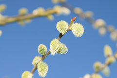 Willow Catkins Against Blue Sky. Male willow catkins in early springtime, blue sky in the backgroung Royalty Free Stock Photos
