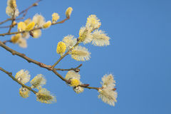 Willow Catkins Against Blue Sky. Male willow catkins in early springtime, blue sky in the backgroung Stock Photography
