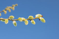 Willow Catkins Against Blue Sky. Male willow catkins in early springtime, blue sky in the backgroung Stock Photos