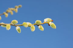 Willow Catkins Against Blue Sky. Male willow catkins in early springtime, blue sky in the backgroung Royalty Free Stock Images