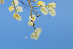 Willow Catkins Against Blue Sky. Male willow catkins in early springtime, blue sky in the backgroung Royalty Free Stock Photography