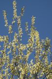 Willow catkins. Blossoming willow at blue sky Royalty Free Stock Images