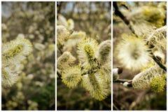 Willow Catkins Branch Collection di fioritura immagine stock libera da diritti