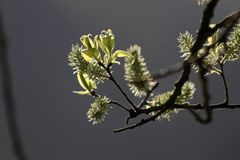 Willow catkins Stock Images