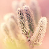 Willow catkins closeup Stock Photo