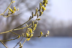 Willow Catkins Stock Photography