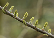 Willow Catkins - Salix Royalty Free Stock Photo