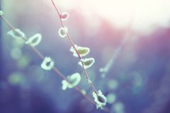 Willow catkins in spring at sunset. Nature background royalty free stock images