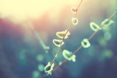 Willow catkins in spring at sunset. Nature background royalty free stock photography