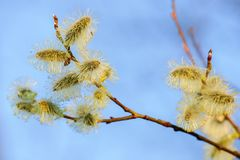 Willow catkins at sunset. Isolated on blue background. Decorative catkins- detail. Spring time. Blurred background with telepho lens 300mm stock images