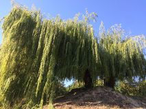 Willow in the city park. On a background of clear sky Stock Photo