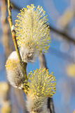 Willow close up. Spring willow close up on the blue sky background Royalty Free Stock Photography