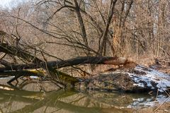 Beaver damage Stock Photography