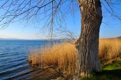 willow drzew Obrazy Stock