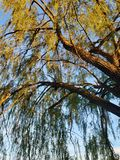 Willow by dusk royalty free stock images
