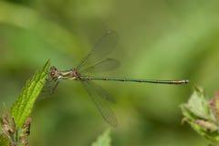 Willow Emerald Damselfly che riposa su una foglia fotografia stock libera da diritti